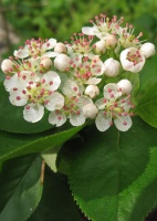 Great Design Plant: Aronia Melanocarpa, a Star for Three Seasons