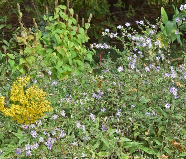 Rustic Landscape Symphyotrichum shortii