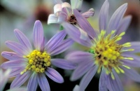 Great Design Plant: Symphyotrichum Shortii