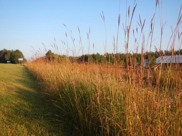 Landscape Andropogon gerardii
